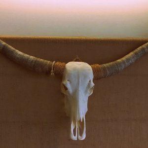 longhorn-schedel-echt-ongebleekt-xl